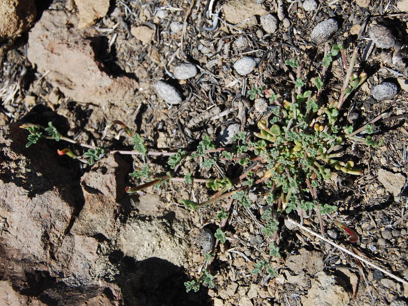 acmispon-strigosus-12may2014-6