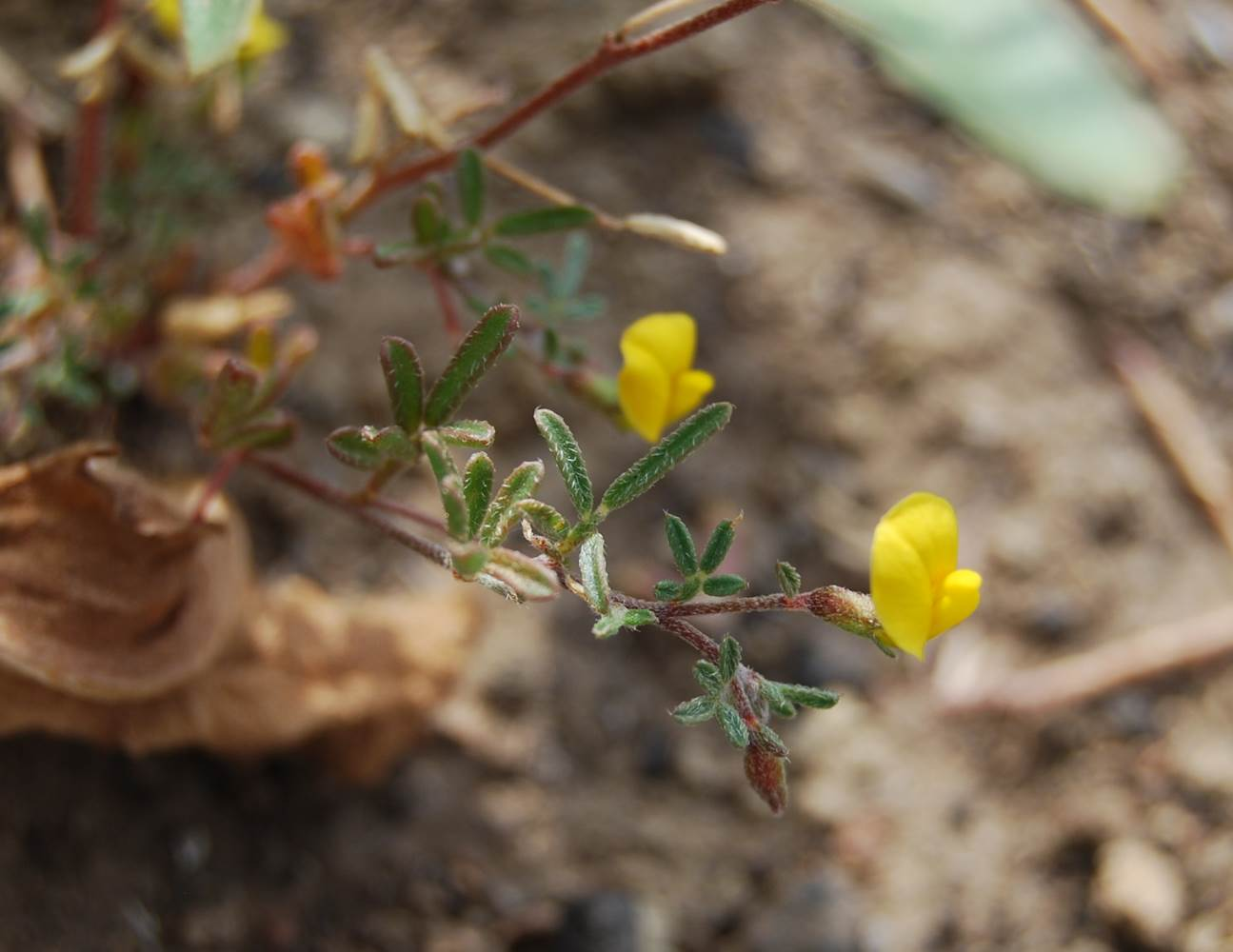acmispon-strigosus-29may2014-1