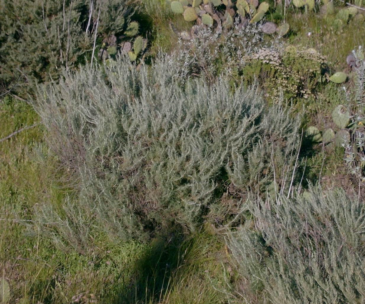 Artemisia Californica Coastal Sagebrush - Na...
