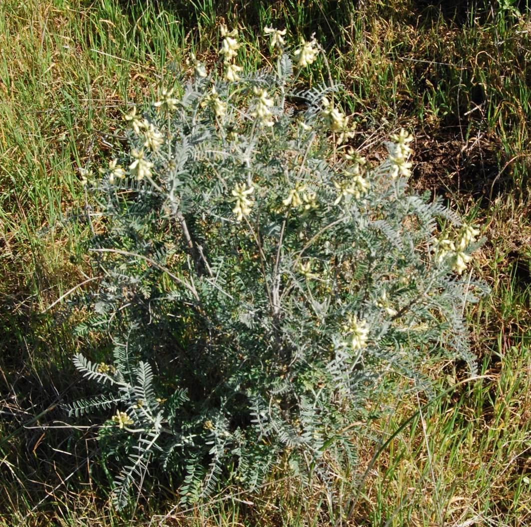 Southern california locoweed native plants csu channel for Southern california native plants