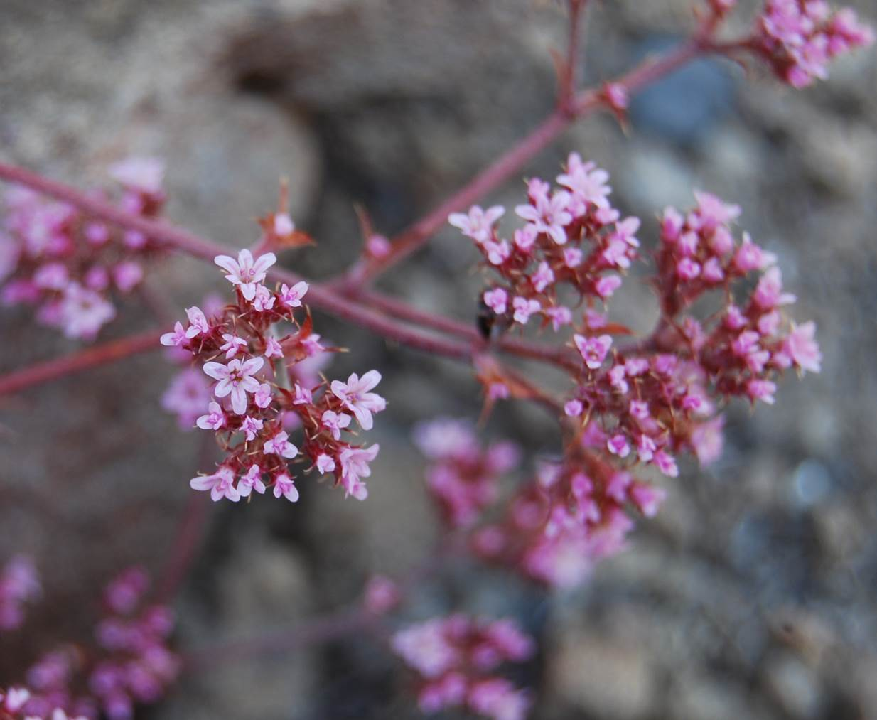 chorizanthe-staticoides-23may2014-27