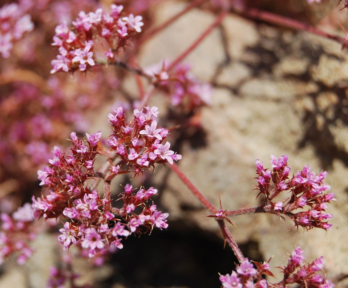 chorizanthe-staticoides-23may2014-5