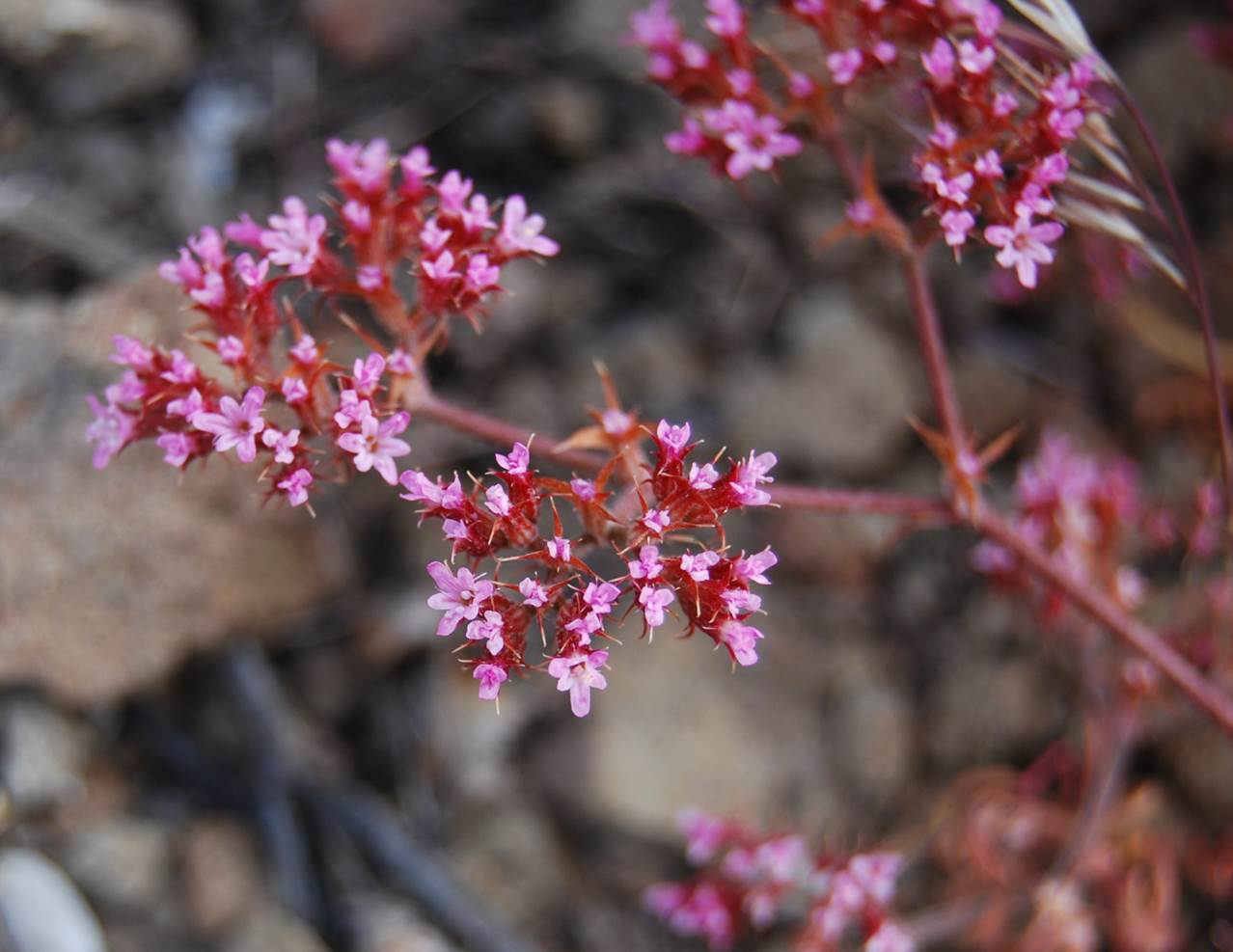 chorizanthe-staticoides-29may2014-2