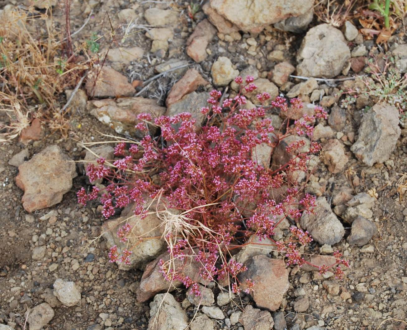 chorizanthe-staticoides-29may2014-4