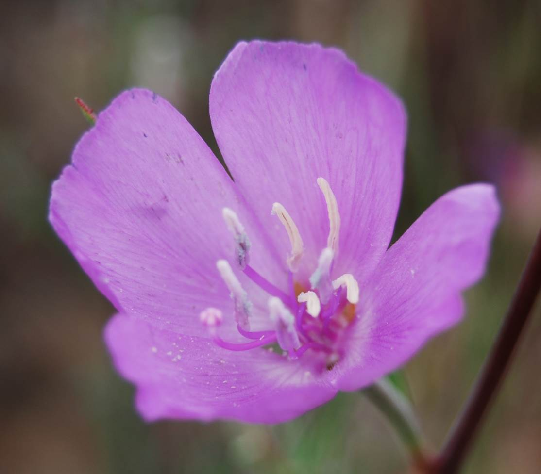 clarkia-bottae-24apr2013-3