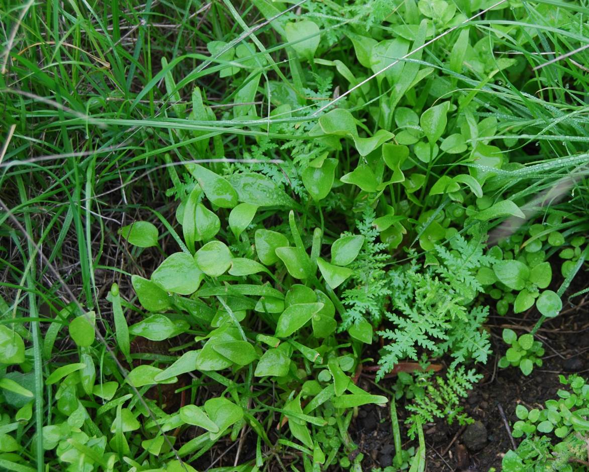 claytonia-perfoliata-5feb2013-2