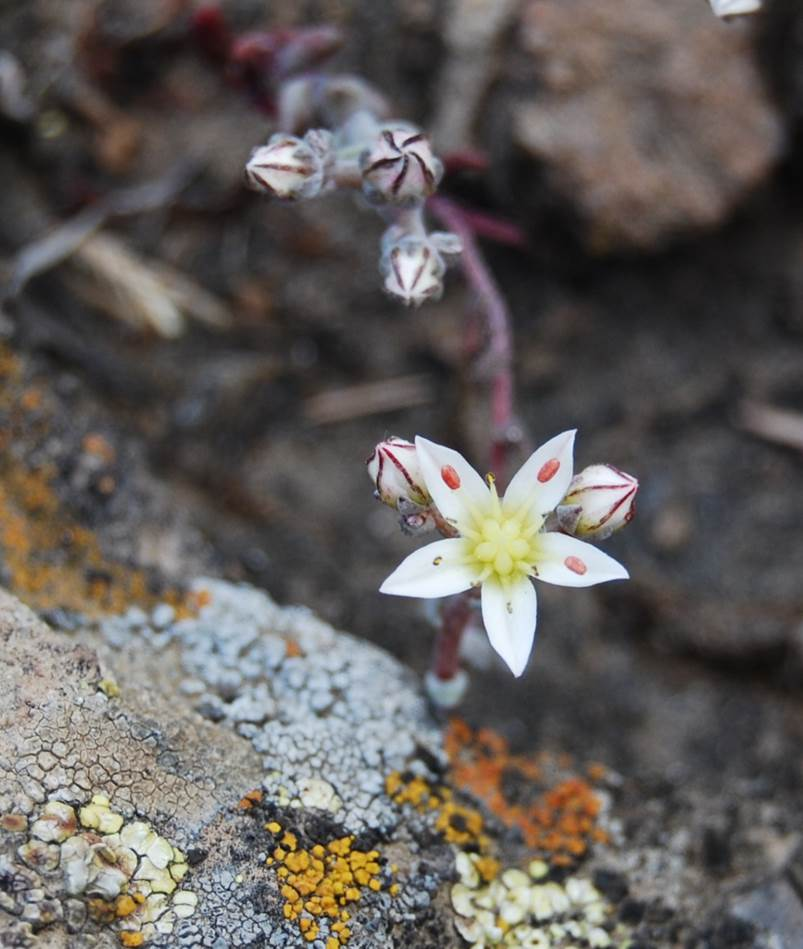 dudleya-blochmaniae-22apr2013-8