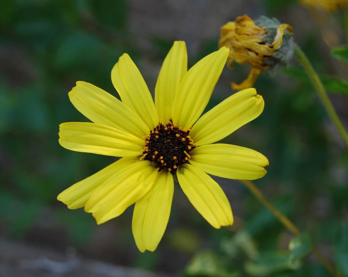 encelia-californica-22mar2008-3