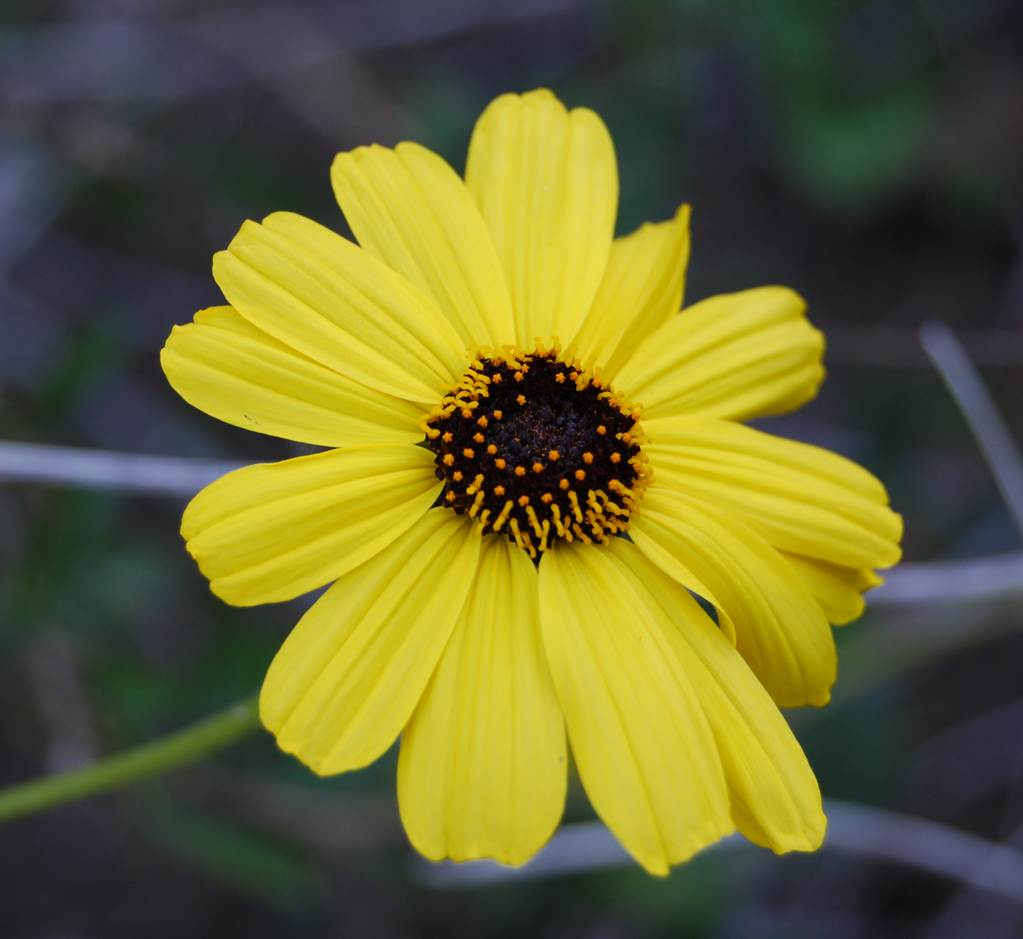 encelia-californica-22mar2008-6
