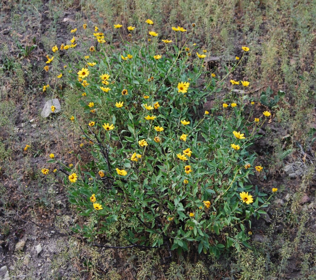 encelia-californica-27feb2015-1