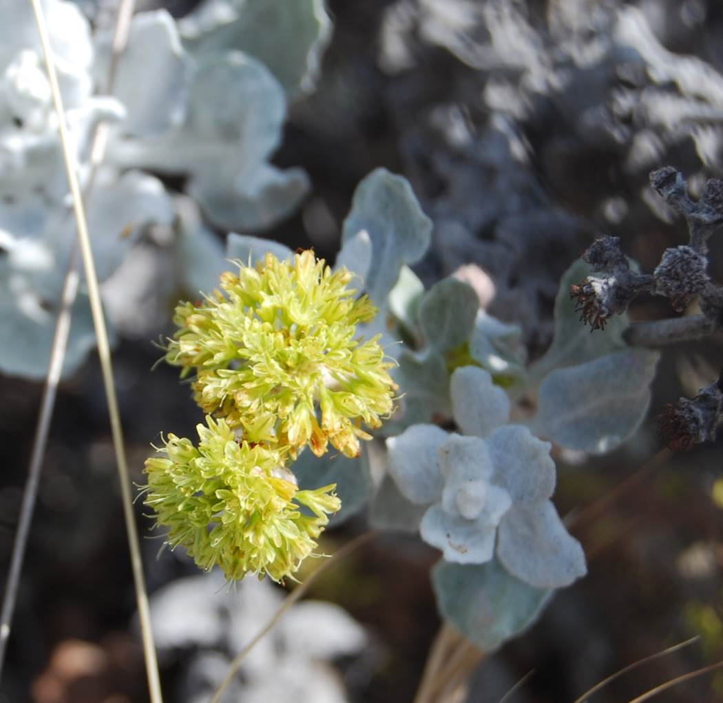 eriogonum-crocatum-22april2013-8