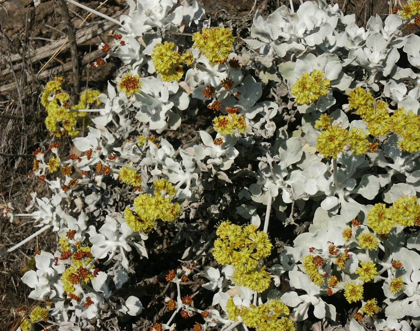 eriogonum-crocatum-29may2003-a