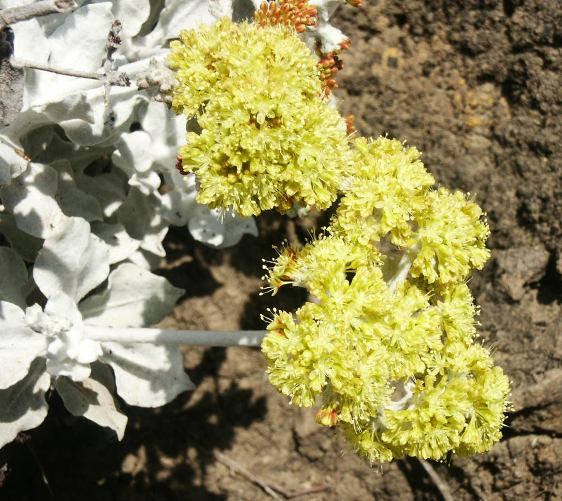eriogonum-crocatum-29may2003-b