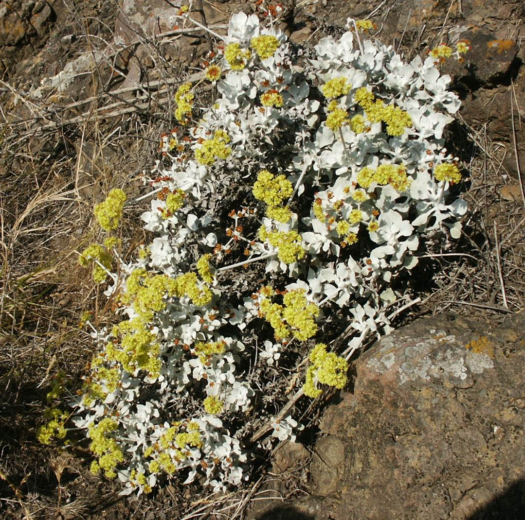 eriogonum-crocatum-29may2003-d