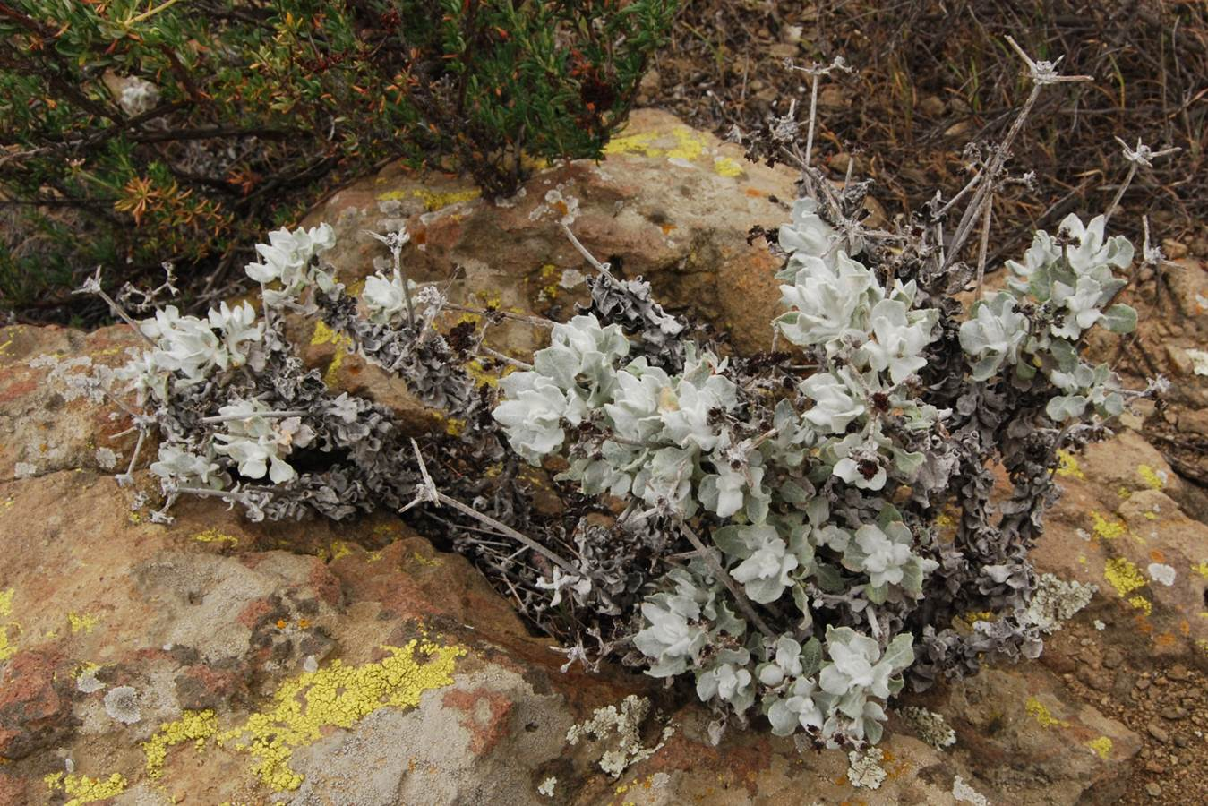eriogonum-crocatum-5march2013-2