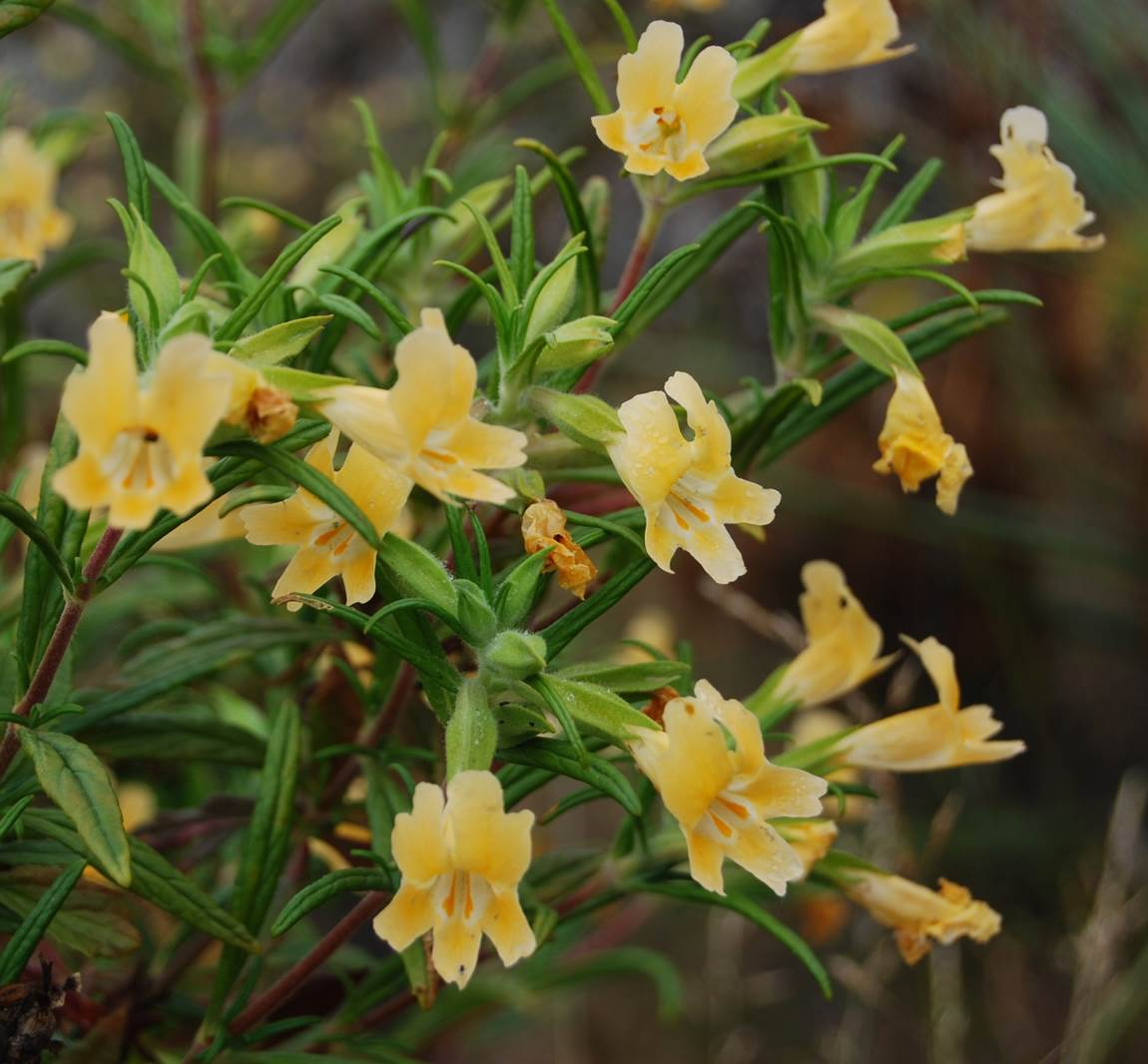 Bush Monkey Flower Native Plants CSU Channel Islands