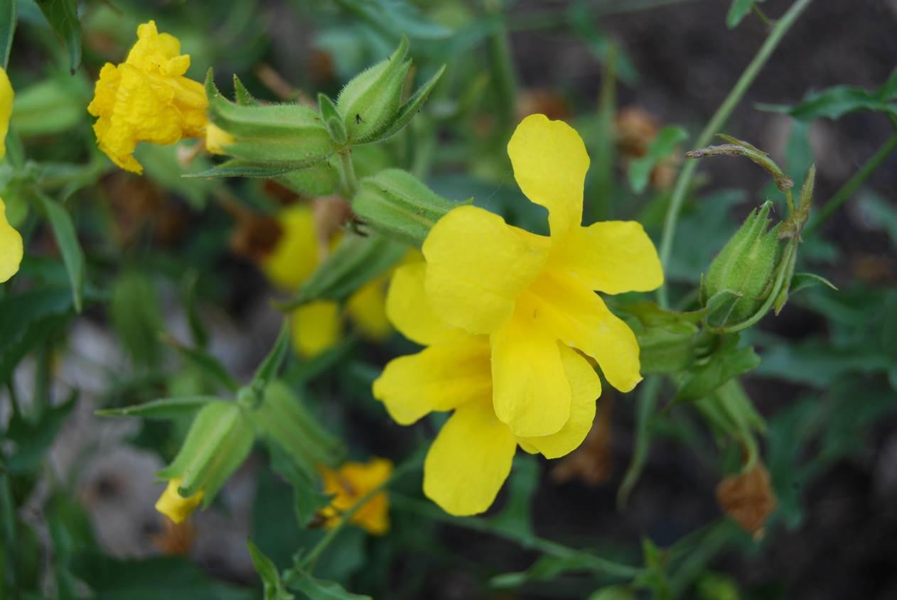 Wide Throated Yellow Monkey Flower Native Plants Csu Channel Islands