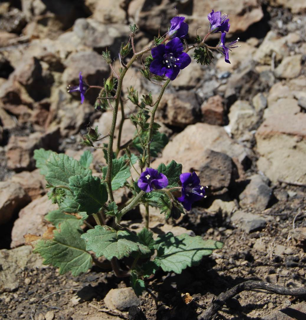 phacelia-parryi-12may2014-11