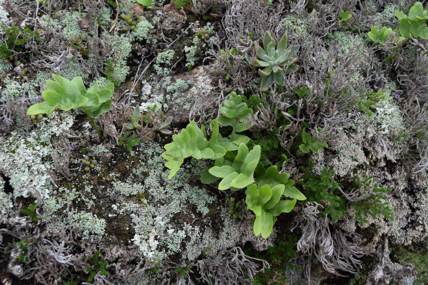 polypodium-californicum-10mar2016-2