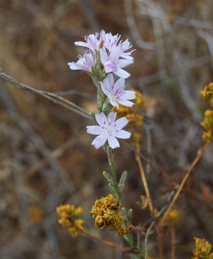 stephanomeria-virgata-12june2016-8