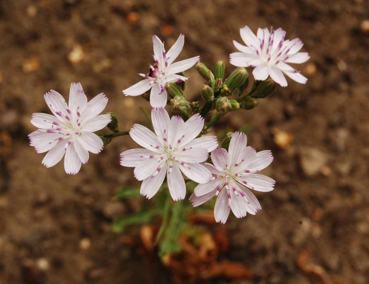 stephanomeria-virgata-13june2014-10