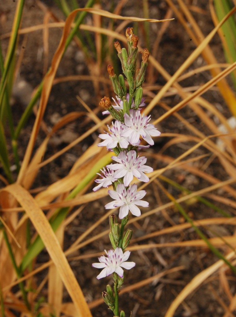 stephanomeria-virgata-13june2014-14