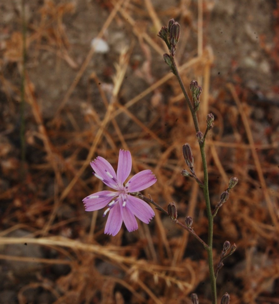 stephanomeria-virgata-2june2014-3