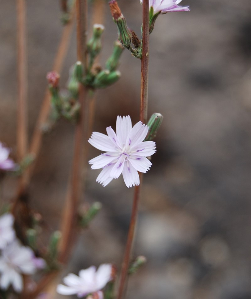 stephanomeria-virgata-31oct2014-5